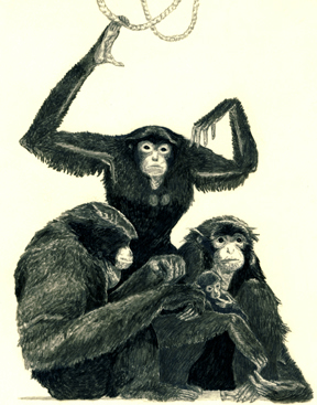 Siamang Gibbon Family